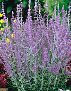 Russian Sage Perennial Plant Care Guide Crimson Valley